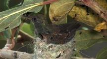 Hummingbird Copper-Rumped Hummingbird Nest,  Chick Exercising  Wings