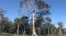 Harpy Eagle Nest Location In Tall Tree, Zoom