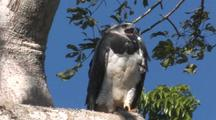 Harpy Eagle Female Perched, Calling, Wide