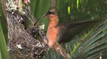 Hummingbird Rufous-Breasted Hermit Nest, Feeding Chicks Close