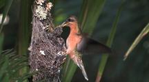 Hummingbird Rufous-Breasted Hermit Nest, Feeding Chicks Medium