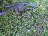 Anaconda Snake Striking