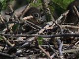 Hoatzin Chicks