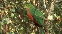 Australian King Parrot Perched Wide (Female)