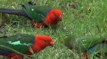 Australian King Parrot Trio Feeding On The Grass