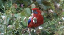 Crimson Rosella Eating Fruit-Seeds 1