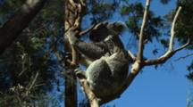 Koala Sunbathing & Scratching