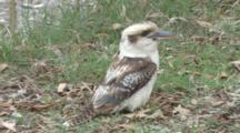 Laughing Kookaburra On The Ground, Missed Prey
