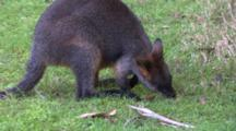 Swamp Wallaby Eating, Zoom In