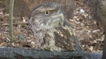 Tawny Frogmouth Looks Around
