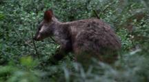 Brush-Tailed Rock Wallaby Feeding