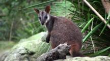 Brush-Tailed Rock Wallaby In Alert