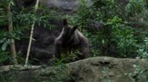 Brush-Tailed Rock Wallaby Preening