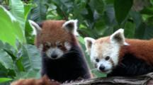 Red Panda Couple 2