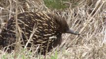 Short-Beaked Echidna Searching For Prey
