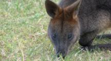 Swamp Wallaby Grazing Close Up Z.Back