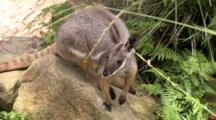 Yellow-Foot Rock-Wallaby On A Rock