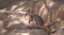 Yellow-Foot Rock-Wallaby On Rocks Alert