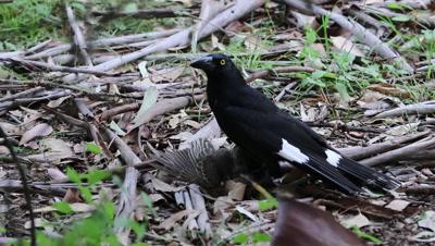 Pied Currawong killing a fledgling