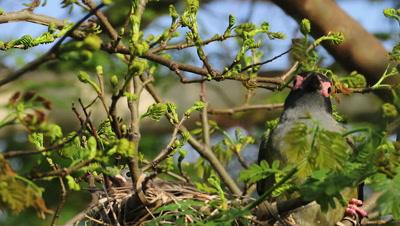 Austraasian Figbird male feeding chicks