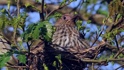 Australasian Figbird female activities on nest