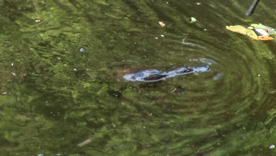 Platypus dives to feed