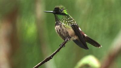 Coquettes Hummingbird Video Decor Edited