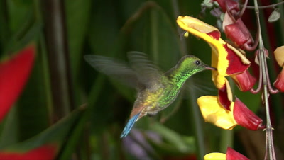 Copper-rumped Hummingbird short story Video Decor Edited