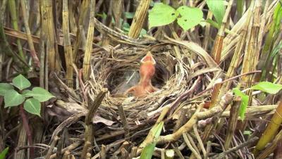 Ochre-breasted Brush-Finch feeding a Cowbird chick