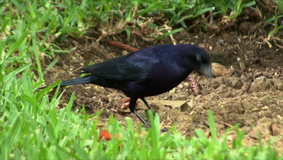 Shiny Cowbird eating on the dirt