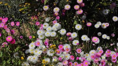 wWild flowers Australia
