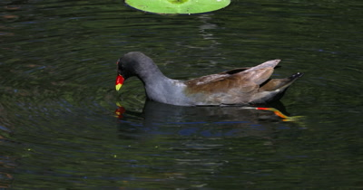 Dusky Moorhen comes feeds on pond