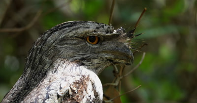 Tawny Frogmouth close up