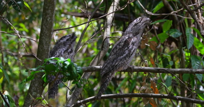 Tawny Frogmouth couple perched sleeping