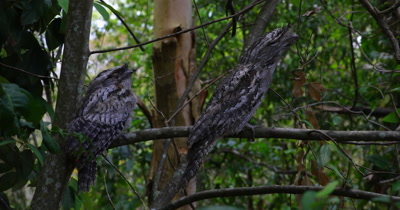 Tawny Frogmouth couple sleeping