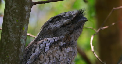 Tawny Frogmouth female close up