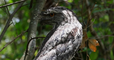Tawny Frogmouth male close up, open big eyes