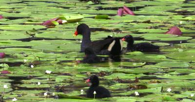 Dusky Moorhen feeding chicks in pond
