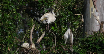 Australian White Ibis, one on nest two others oreening