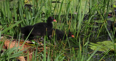 Dusky Moorhen exiting nest to go to feed after parent