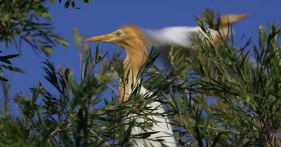 Cattle Egret perched in heronry, breeding plumage