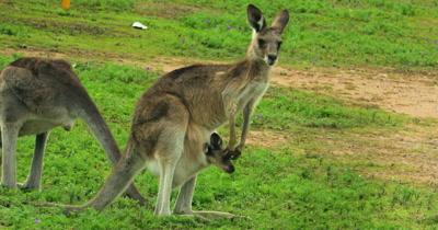 Eastern Grey Kangaroo on the alert, joy in pouch