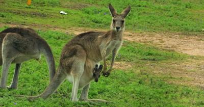 Eastern Grey Kangaroo grazing mother and joy