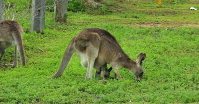 Eastern Grey Kangaroo grazing, mother and joy