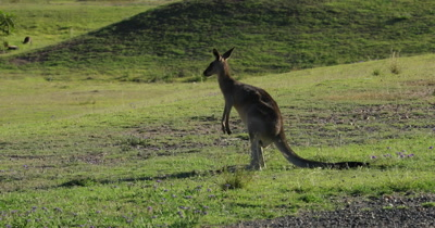 Eastern Grey Kangaroo grazing