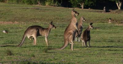 Eastern Grey Kangaroo grazing, two grazing. two standing on alert