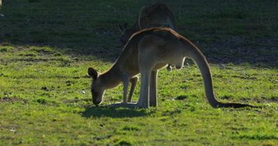 Eastern Grey Kangaroo male grazing backlighted