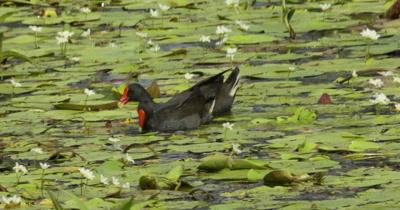 Dusky Moorhen couple feeding in a pond