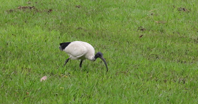 Australian White Ibis feeding on a grassland
