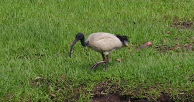 Australian White Ibis feeding on a grassland, captures and other two come to steal